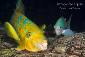 Smile Parrot Fish, Galápagos Ecuador by Alejandro Topete