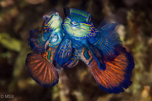 Mandarin mating with eggs. Lembeh. by Mehmet Salih Bilal