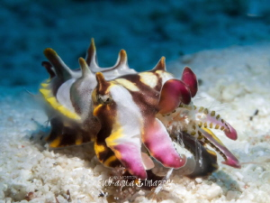 2cm Juvenile Flamboyant Cuttlefish with Shrimp for Lunch  by Jan Morton