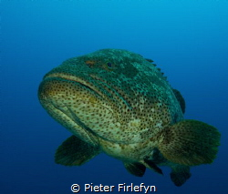 Friendly and curious grouper! Image taken with the Olympu... by Pieter Firlefyn