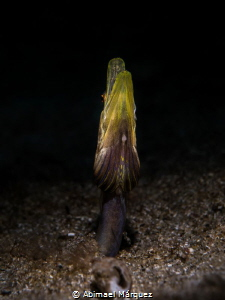 Pikeblenny by Abimael Márquez