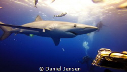 Large blue shark in the Azores. by Daniel Jensen