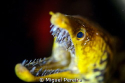 Fang tooth moray eel by Miguel Pereira