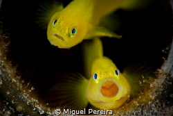 Couple of gobies inside a bottle. by Miguel Pereira