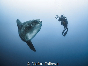 We Are Legion. Southern Ocean Sunfish - Mola ramsayi. Gil... by Stefan Follows