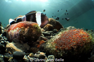 Clownfish with eggs in macro wide angle by Danny Van Belle