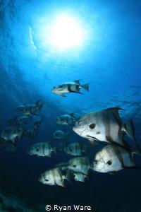 Bat Fish, Bahamas by Ryan Ware