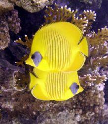 Butterfy fish, Sharm el Sheikh by Nicky Bowker