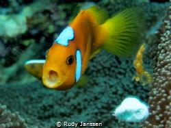 Nemo Clownfish by Rudy Janssen