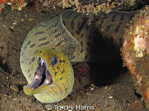 A Moray Eel with a black shrimp passenger:) by Tracey Harris