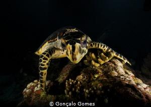 Tartaruga de Pente by Gonçalo Gomes