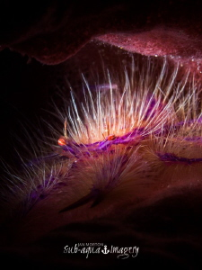 Snoot Lit Hairy Squat Lobster in barrel sponge.  Approx 1... by Jan Morton