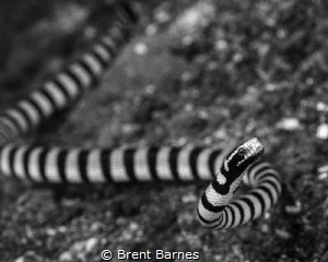 A banded sea snake in the Lembeh Strait, Indonesia by Brent Barnes