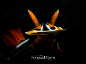 Chromodoris magnifica - Snoot Lit with Olympus E-M1 and 6... by Jan Morton