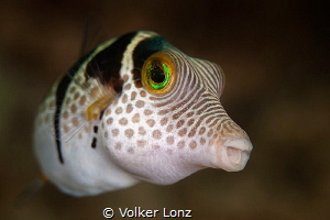 filefish by Volker Lonz