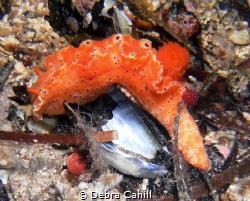 Ceratosoma Brevicaudatum Pt Hughes Jetty South Australia by Debra Cahill