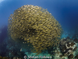 Scadalicious ... Oxeye Scad - Selar boops. Sail Rock, Tha... by Stefan Follows