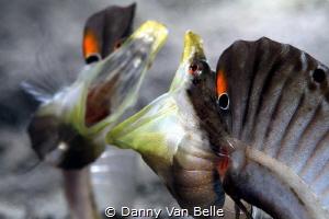 Pikeblennie fight by Danny Van Belle