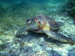 Green Sea Turtle eating sea grass by Matt Marrone