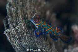 A tiny mandarin fish taken on my first dive in Lembeh on ... by Charlotte Sams