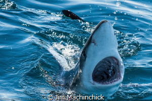 A Blue Shark checking out the divers topside.  Off the co... by Jim Machinchick