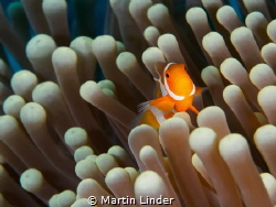 Clownnfish shot near the Wakataboi islands in Indonesia. ... by Martin Linder