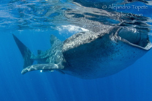 Whale Shark close, Isla Contoy Mexico by Alejandro Topete