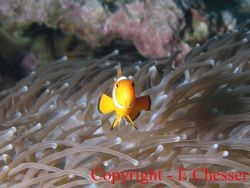 I'll get angry if you take my picture again!  Similan I... by Ewan Chesser