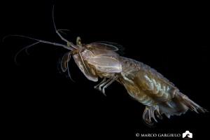 Squilla mantis going away by Marco Gargiulo