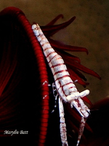 Crinoid shrimp, Anilao, Philippines by Marylin Batt
