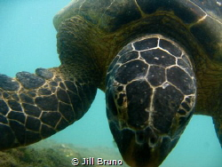 Hello Turtle by Jill Bruno