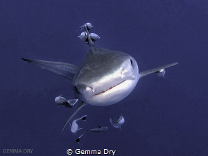 Playful Tiger Shark on Aliwal Shoal - South Africa by Gemma Dry