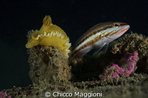 Nudibranch and fish by Chicco Maggioni