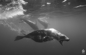 """""""The Stand""""  A Cape Fur Seal barks at me, showing his a... by Allen Walker"""