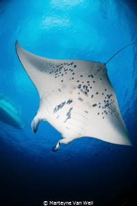 This manta ray, named 'Falafal', is one of the resident m... by Marteyne Van Well