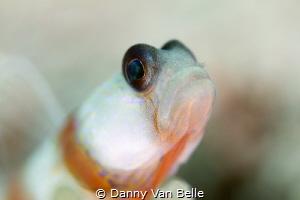 Gobie - Danny Van Belle by Danny Van Belle