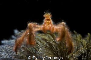 An orangutan crab in Bali by Tracey Jennings