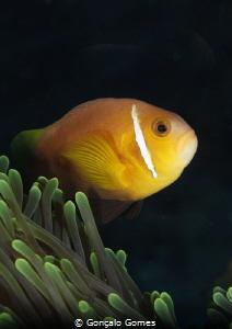 Peixe Palhaço by Gonçalo Gomes