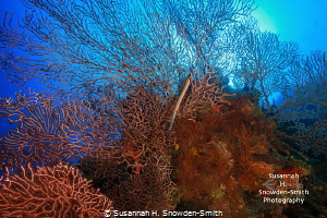 "Trumpetfish ""hiding"" on a colorful reef