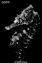 White sea-horse and I mean it :D by Gaetano Gargiulo