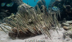 Razor fish dance.  The beauty of the synchro movement of... by Nando Cebrián