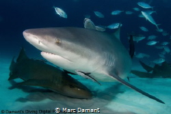So misunderstood the Bull Shark is power and grace incarn... by Marc Damant