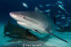 So misunderstood the Bull Shark is power and grace incarn... by Marc Damant
