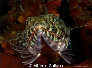 Lizard fish by Alberto Gallucci