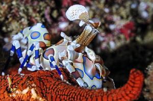 ~ The Month Long Feast ~ Harlequin shrimp predate on Sta... by Geo Cloete