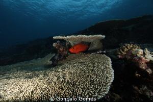 Peixe soldado by Gonçalo Gomes
