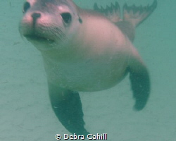 Sea Lion Port Lincoln South Australia by Debra Cahill