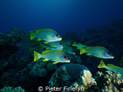 Blackspotted sweetlips by Pieter Firlefyn