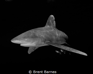 An oceanic white tip shark and pilot fish tagging along i... by Brent Barnes