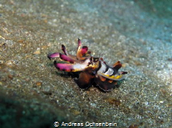 Flamboyant cuttlefish, mating color, Lembeh Strait by Andreas Ochsenbein